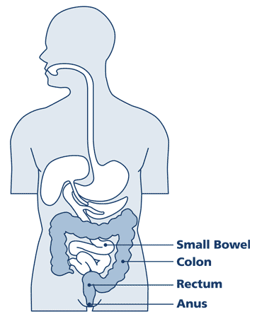 Diagram of the internal organs of a human. Small colon is white, Colon is dark blue
